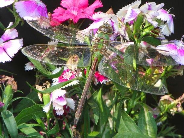 dragonfly Ryan LaChapell (2)