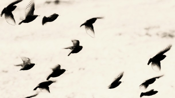 Owens_Blackbirds