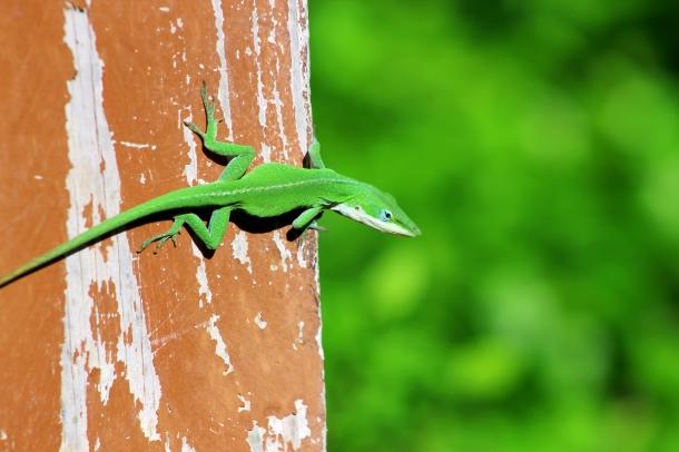 pensive lizard